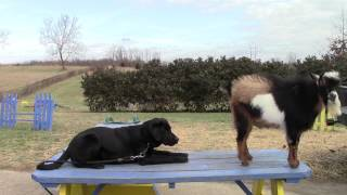 Training Your Labrador Retriever Puppy Part Four