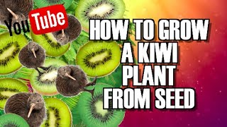 How to GROW KIWI plants for seeds you take from store bought fruit