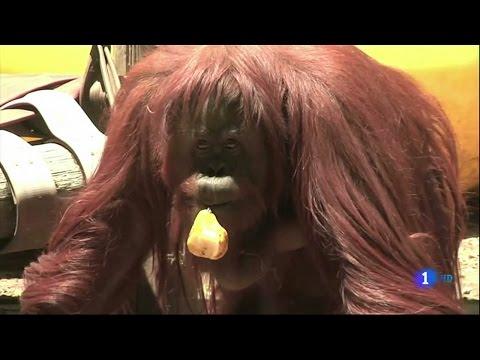orangután-sandra-se-convierte-en-el-precedente-para-la-defensa-de-los-derechos-animales