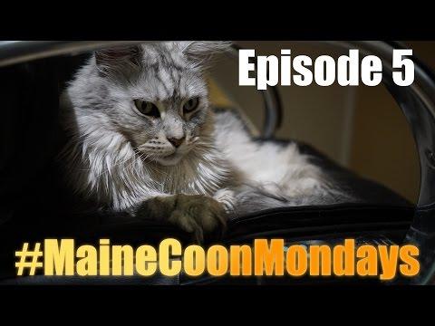 #MaineCoonMondays - Episode 5