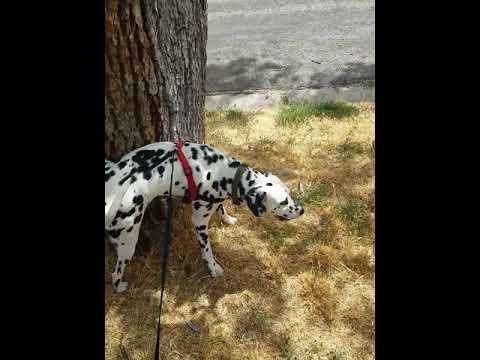 Taking Rosco For A Walk! (Beautiful Dalmatian Dog)