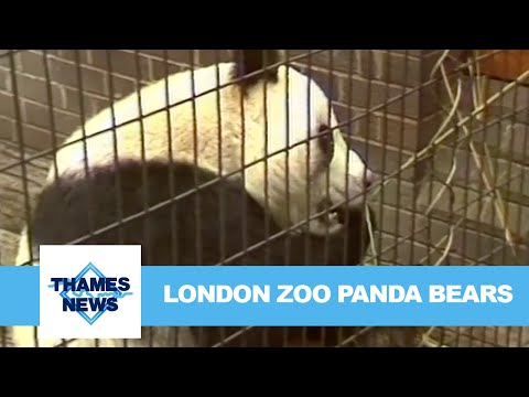 London Zoo Panda Bears | Thames News