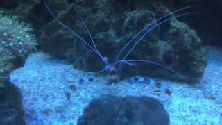 Marine Boxer Shrimp