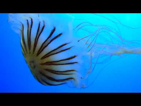 MEDUSES / JELLYFISH  (HD)