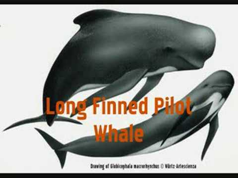 Blainville Beaked Whales Doovi