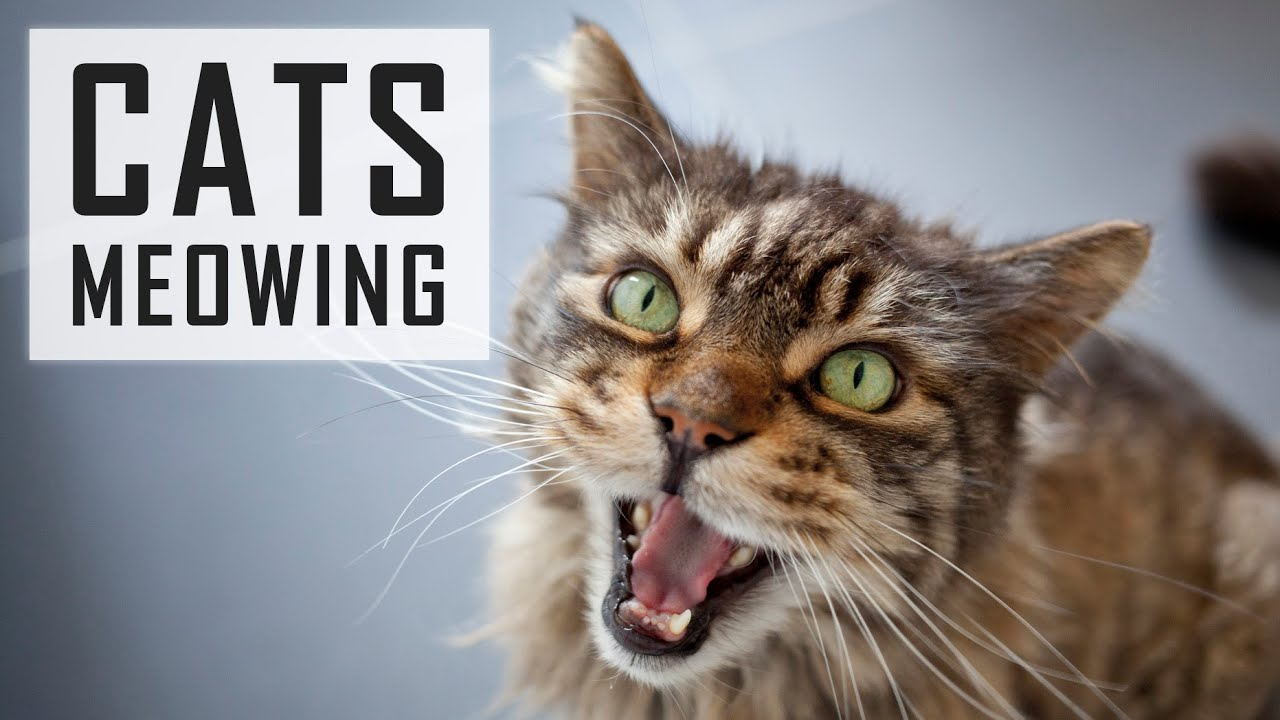 Cute Cats Meowing - Best Cats Video