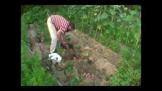 Посадка картофеля, лука, моркови и свеклы в опилки  Эксперимент