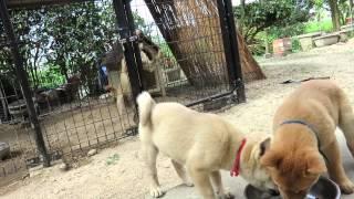 納豆を食べる山陰柴犬の子犬兄妹です。