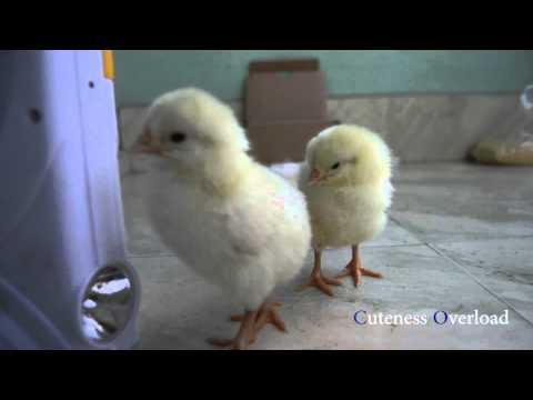 Cute Baby Chicks Playing - Cuteness Overload