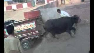 loading of cow funny