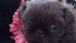 Imperial Chocolate Shih Tzu Giving Kisses