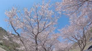 보령 주산 벚꽃길9
