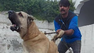The Great Fighter Dog l Afghan Kochi breeds mix dogs l افغان کوچی اور بولی کتا مکس