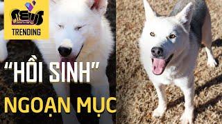 Màn 'hồi sinh' ngoạn mục của chú chó Husky