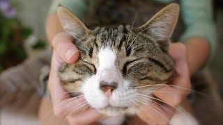 Почему коты мурлычут ?
