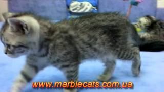Британские котята окраса вискас (Litter O, 1 5 месяца)