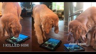 Golden Retriever Puppy VS Tablet