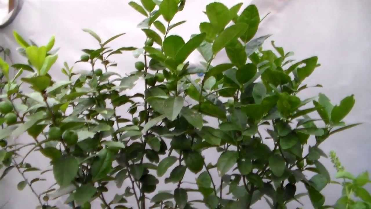 key lime tree with lots of fruit container gardening youtube
