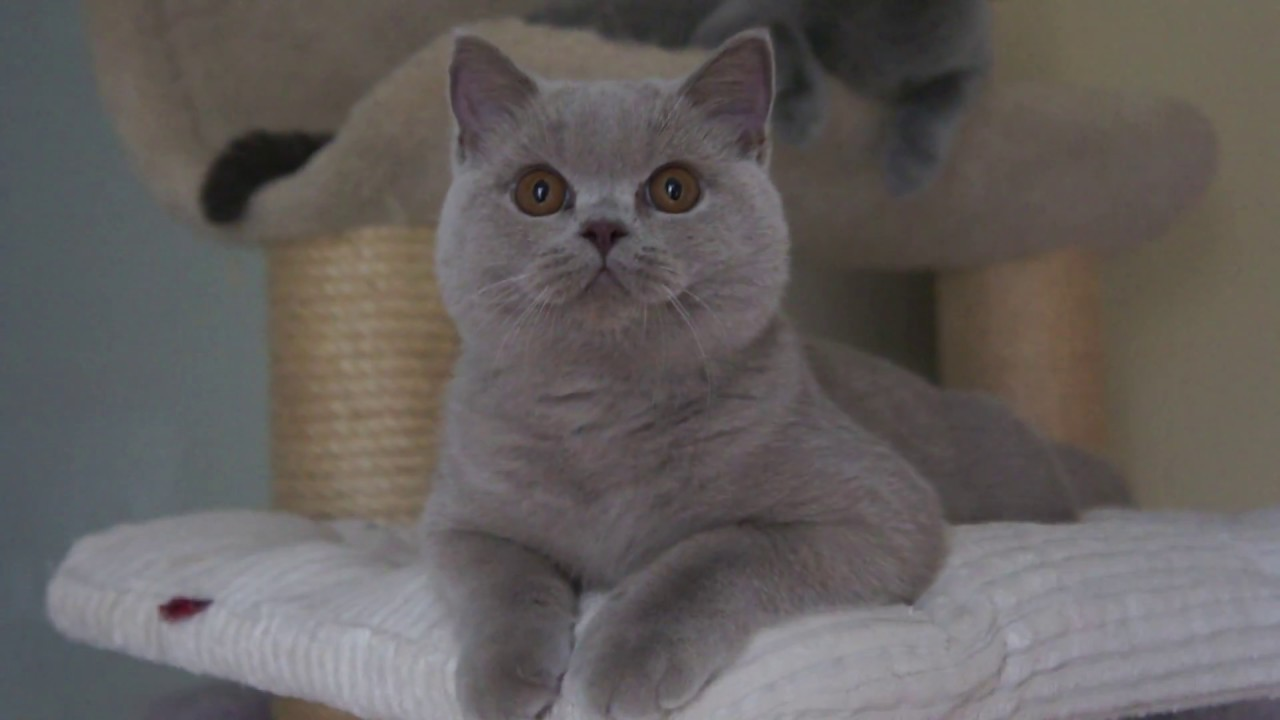 Top Ten Cute British Shorthair Cattery