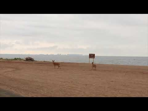 Deer frolic at Great Kills Beach on first day of summer