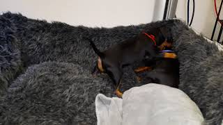 Manchester Terrier  puppies' life  part 9