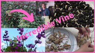 How To Grow Purple Hyacinth Bean Vine - Easy To Grow Flowering Vines
