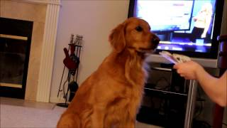 Daisy The Golden Retriever Picks A Card From The Deck - Clicker Training