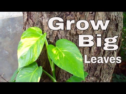 How to Grow Big Leaves of Money Plant /Gardening Tips & Care - 14 Sep 2017