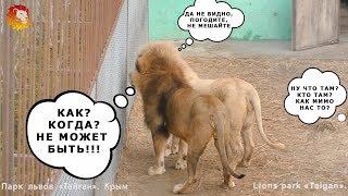 Вот это интрига - всем интригам интрига. Львы. Тайган. lion's life. lions sing. Taigan.