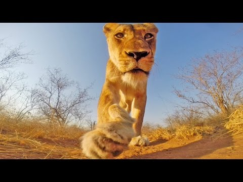 GoPro: Lioness In Greater Kruger National Park