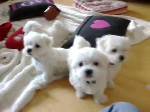 Regalo Cuccioli Di Maltese Taglia Piccola Youtube