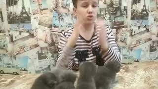 Котятки милашки британские дымчатые вислоухие