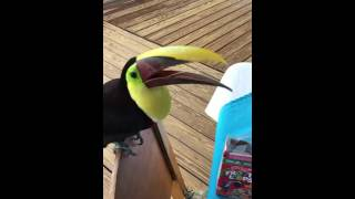 ケロッグの過去キャラにそっくりな鳥、やっぱりシリアルが好き