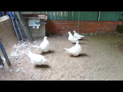 Pigeon Mondain