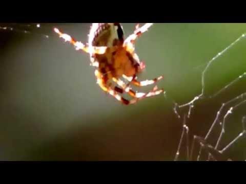 Spider - Паук - Павук