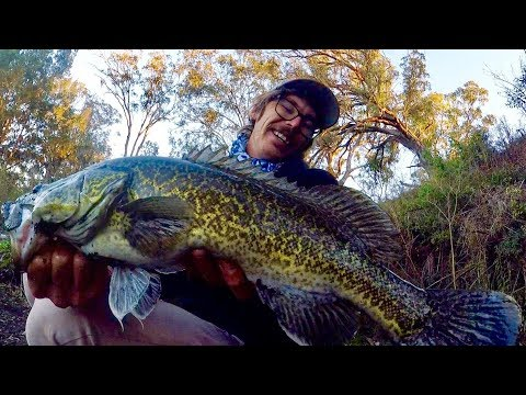 WINTER MURRAY COD - Heavy on the frame.