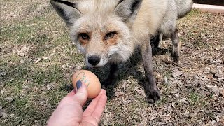 Happy Easter Foxes! Foxes get eggs for Easter!