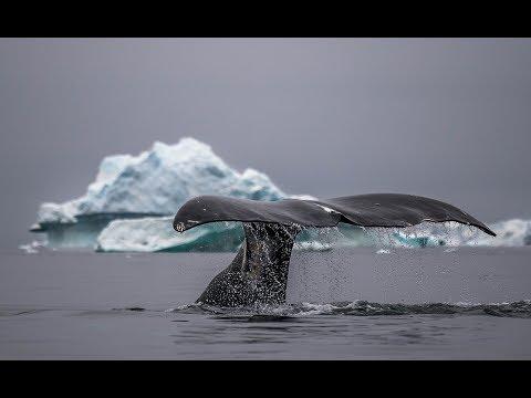 Невероятное видео гренландских китов снятое с воздуха.