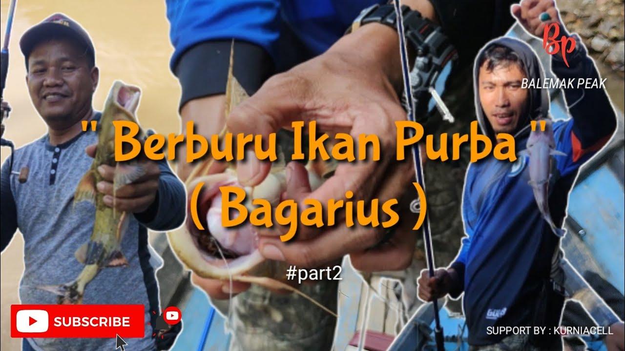 BERBURU IKAN PURBA BAGARIUS | PART 2 - YouTube