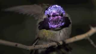 Hummingbird  Paul Landau Canon 7D
