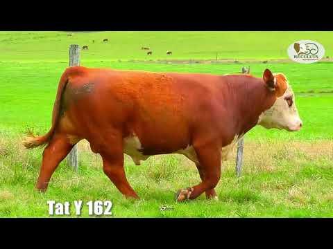 LOTE 12   TAT Y162 TOURO HEREFORD RECULUTA AGROPASTORIL