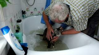 One dirty Maine Coon cat having a bath