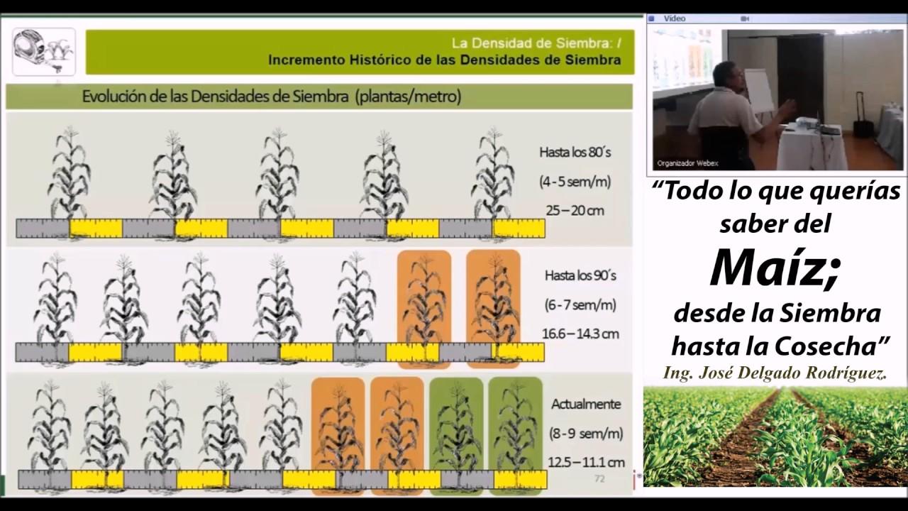 Densidad de siembra en el cultivo de ma z youtube for Densidad de siembra de tilapia