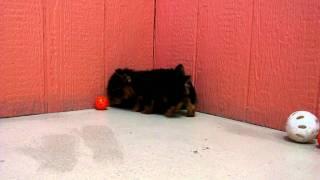 Yorkshire Terrier, Puppies, For, Sale, In, San Diego, California, Ca, Escondido, Hayward, Pomona