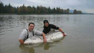 10ft monster sturgeon huge fish caught by nick george on fraser river bc it really is massive