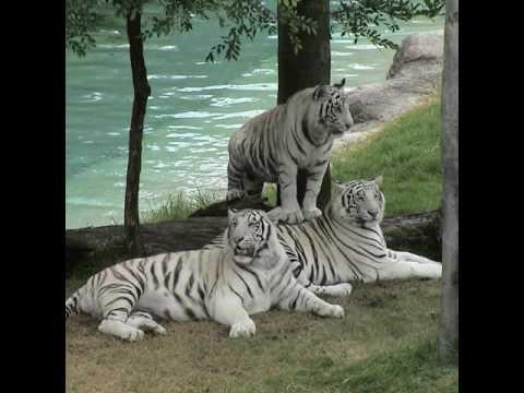Фото белых тигров