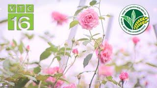 Bí quyết trồng hoa hồng cho lãi khủng | VTC16