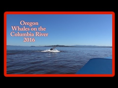 Oregon- Whales on the Columbia River! 2016 HD