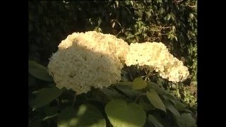 Правильное выращивание гортензии в Сибири