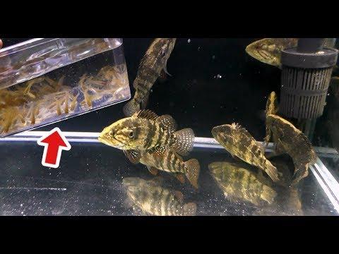 肉食魚10匹が泳ぐ水槽に大量のメダカを入れてみた結果…!